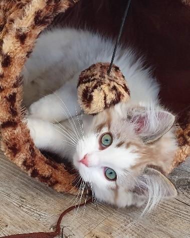 Izzy a ragdoll cat